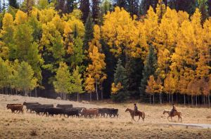 fall-scene-cattle-drive1